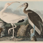 Audubon, John James (1785-1851) White Ibis, Plate CCXXII.   [from] Birds of America. London: R. Havell, 1826-1838 (Lot   351, Estimate $6,000-$8,000)