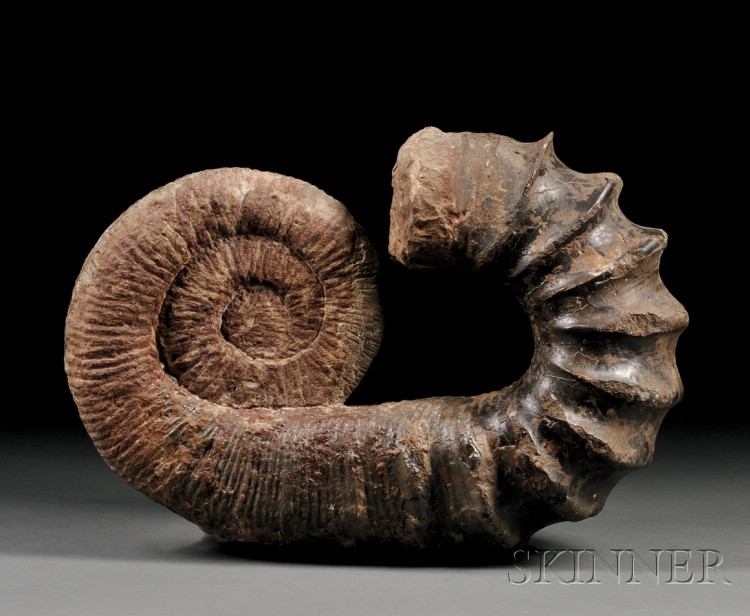Natural History Auction | Ammonite Fossil