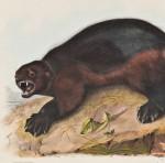 [Detail] Audubon, John James (1785-1851) Wolverine, Plate XXVI. [from] The Viviparous Quadrupeds of North America. Philadelphia: J.T. Bowen, 1839-1844 (Lot 413, Estimate $600-$800)