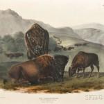 Audubon, John James (1785-1851) Bison, Plate LVII. [from] The Viviparous Quadrupeds of North America (Lot 346, Estimate $7,000-$10,000)