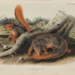 Audubon, John James (1785-1851) Say's Squirrel, Plate LXXXIX.   [from] The Viviparous Quadrupeds of North America.   Philadelphia: J.T. Bowen, 1839-1844 (Lot 346, Estimate $500-  $700)
